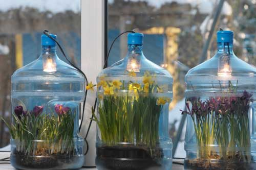 Bulbs in Jugs
