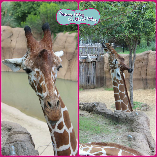 Dallas Zoo Giraffes